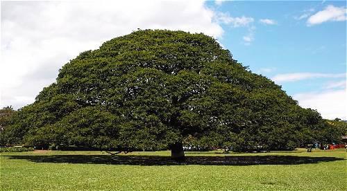日立の木 この木なんの木ハワイ