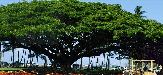 モンキーポッド 日立の木と同じ ヒロ