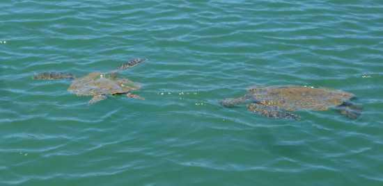 野生のウミガメ ハワイ