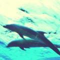 野生のイルカと泳ぐ