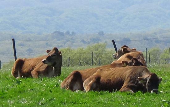 蒜山高原 放牧牛